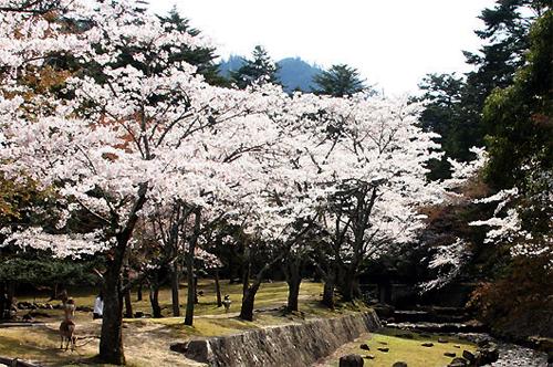 大元公園桜
